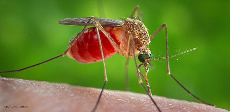 Esta es una vista ampliada de un mosquito Culex quinquefasciatus hembra que se posó en la piel de un huésped humano.