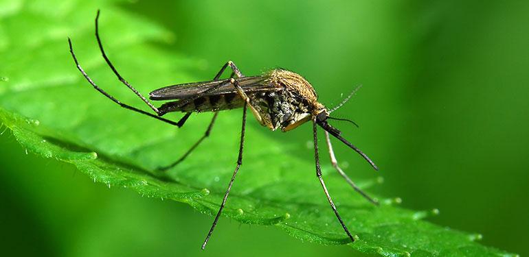Un primer plano de un mosquito Aedes sollicitans posado sobre una hoja verde.