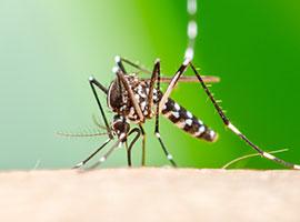 Un primer plano de un mosquito Aedes aegypti succionando sangre sobre piel humana.
