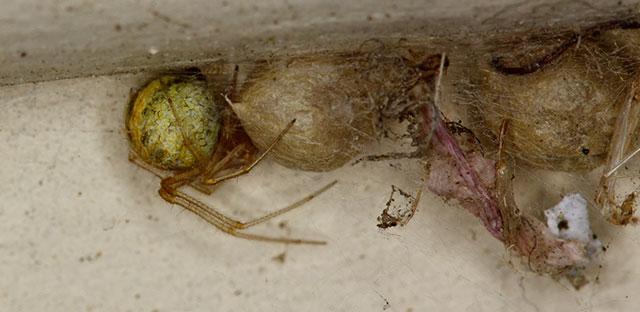 Una araña doméstica común en el piso de una casa.