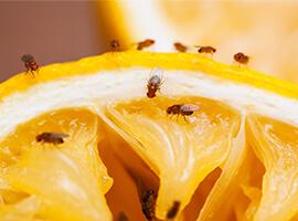 Muchas moscas sobre una rodaja de naranja.
