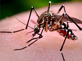 Una vista ampliada de un mosquito sobre la piel de un huésped humano.