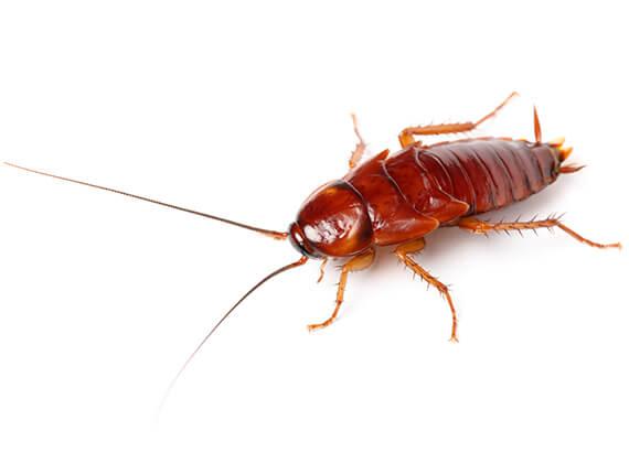 Vista en primer plano de una cucaracha grande.