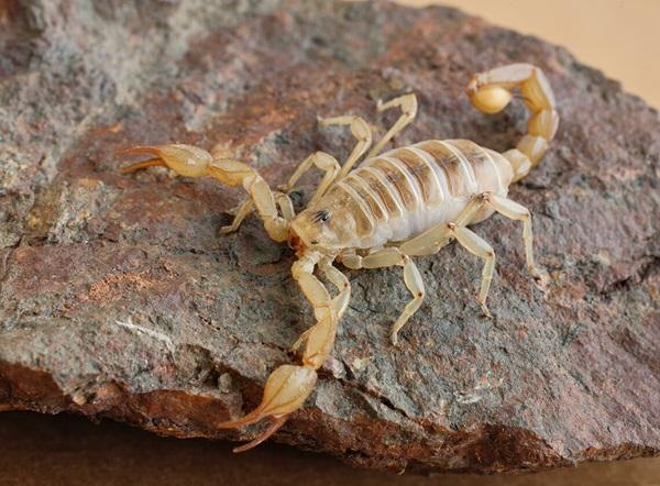 Un escorpión caminando por la parte de arriba de una piedra.