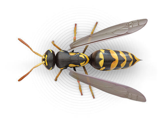 Ilustración superior de una avispa.